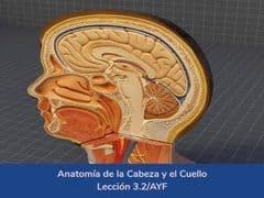 Anatomía de la cabeza y el cuello,Lección 12 del curso online Anatomía y Fisiología Aplicada