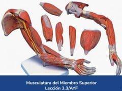Musculatura del miembro superior, Lección 13 del curso online Anatomía y Fisiología Aplicada.